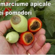 96400-07401-98-marciume-apicale_al7yffh6